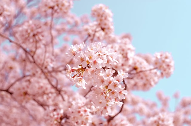 Pink blossom on tree branches in front of a blue sky.