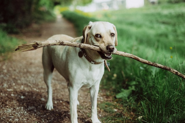 On an outdoor path, a dog with a collar holds a large stick in its mouth and looks directly into the camera.